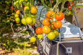 Closeup of ripening hydroponically grown tomatoes Royalty Free Stock Photo