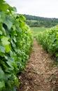 Closeup of row in vineyard between grape vines Royalty Free Stock Photo