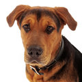 Closeup sad mixed breed photo of an adult dog against a white backdrop with a face Stock Photography