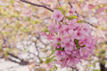 Closeup sakura blooming Royalty Free Stock Photo