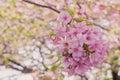 Closeup Sakura Blooming
