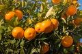 Closeup of satsumas ripening on tree Royalty Free Stock Photo