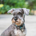 Closeup schnauzer dog looking on blurred cement floor in front of house view background Royalty Free Stock Photo