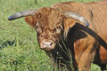 Closeup of a Scottish Highland Bull Head Royalty Free Stock Photo