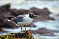 Closeup seagull perched on rock in ocean moss covered the edge of the with blurred rocks and water the background black headed sea Stock Photo