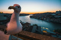 Closeup Seagull sitting on the waterfront of Douro river at night, Porto Royalty Free Stock Photo