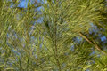 Closeup and selective focus image of casuarina plant leaves over blue sky background Stock Image