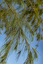 Closeup and selective focus image of casuarina plant leaves over blue sky background Royalty Free Stock Images