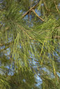 Closeup and selective focus image of casuarina plant leaves over blue sky background Stock Photos