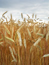 A closeup of sheaf stalks of malting barley field ready for harvest. Royalty Free Stock Photo