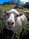 Closeup of sheep Royalty Free Stock Photo