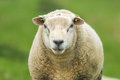Closeup of a sheep Royalty Free Stock Photo