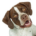 Closeup Shorthaired Pointer breed dog tilting head Royalty Free Stock Photo