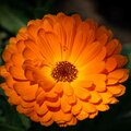 Closeup shot of a beautiful flower with orange petals and pollen Royalty Free Stock Photo