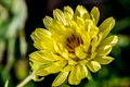 Closeup shot of a beautiful texas dandelion wildflower pyrrhopappus multicaulis caught in the early morning sunlight in all it s Royalty Free Stock Images