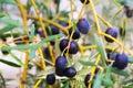 Closeup shot of black olives plant Royalty Free Stock Photo