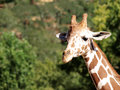 Closeup shot of giraffe head and neck against green leaves Royalty Free Stock Image