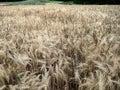Closeup shot of light fields of barley Royalty Free Stock Photo
