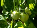 Closeup shot of organic grown bunch of unripe tomatoes growing on tomato plant Royalty Free Stock Photo