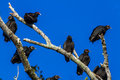 A closeup shot of several turkey vultures or buzzards cathartes aura in brazos bend state park texas looking for a free meal the Stock Image