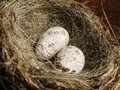 Closeup shot of two eggs in a bird nest Royalty Free Stock Photo