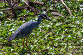 A Closeup Shot of a Wild Yellow-crowned Night Heron in Texas. Royalty Free Stock Photo