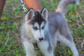 Closeup siberian husky puppy in thailand Royalty Free Stock Photo
