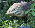Closeup sideview of the head of a land iguana in green vegetation Royalty Free Stock Photo