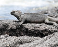 Closeup sideview of a marine iguana on a rock Royalty Free Stock Photo