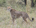 Closeup sideview of one adult cheetah standing in tall grass Royalty Free Stock Photo