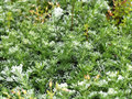 Closeup silver mound artemisia background Stock Photos