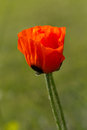 Closeup of single poppy flower in field of grass. Stock Photography