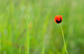 Closeup of single poppy flower in field of grass Royalty Free Stock Photo