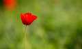 Closeup of single poppy flower in field of grass. Isolated. Royalty Free Stock Photo