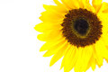 Closeup single sunflower on a white background Royalty Free Stock Photos