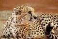 Closeup of sitting cheetah Royalty Free Stock Photo