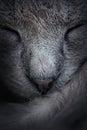 Closeup of sleeping cat face. Macro. Abstract Royalty Free Stock Photo