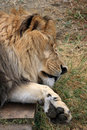 Closeup sleeping lion Royalty Free Stock Image
