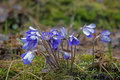 Closeup of small and wet anemone hepatica flowers in a forest Royalty Free Stock Photos