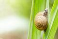 Closeup Snail On Green Leaf.