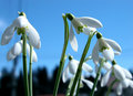Closeup - snowdrops Stock Photo