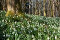 Closeup of snowdrops surrounded by trees in a forest under the sunlight Royalty Free Stock Photo