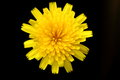 Closeup of soft-focused isolated yellow dandelion flower Royalty Free Stock Photo
