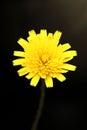 Closeup of soft-focused  yellow dandelion flower Royalty Free Stock Photo