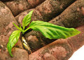 Closeup of soil-caked hand holding a green sprout Stock Photo