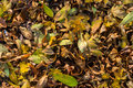 Closeup of some autumnal leaves Stock Image