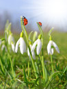 Closeup spring flowers snowdrops with ladybirds Royalty Free Stock Photo