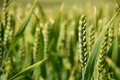 Closeup of stalk of wheat in a field shallow focus against the crop Royalty Free Stock Images