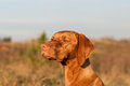 Closeup of a staring vizsla dog hungarian pointer magyar stares out across field Royalty Free Stock Photos