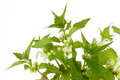 Closeup of stinging nettles over white background Stock Image